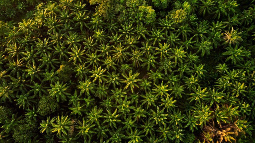 piantagione palma